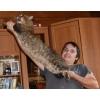 Продаются породистые котята мейн кун дикого окраса